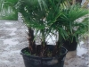 a-potted-triple-truncked-windmill-palm