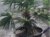 a-potted-windmill-palm