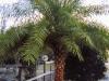 sylvester-palm