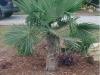 windmill-palm-
