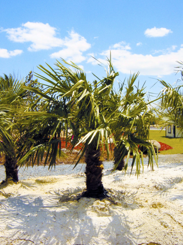 palm trees at superior sod