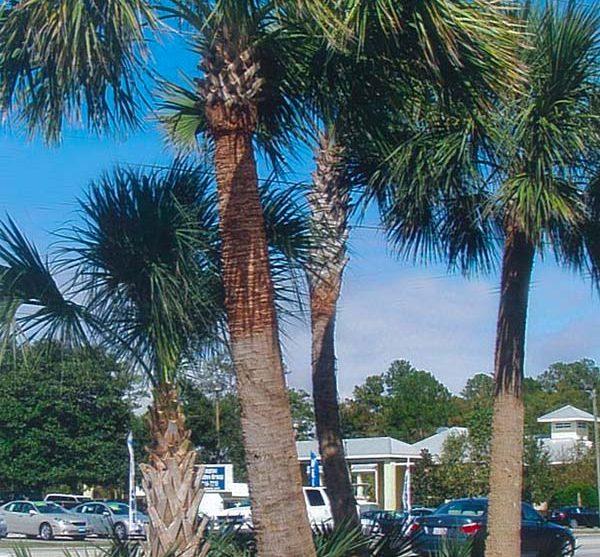 Sabal palmetto palms