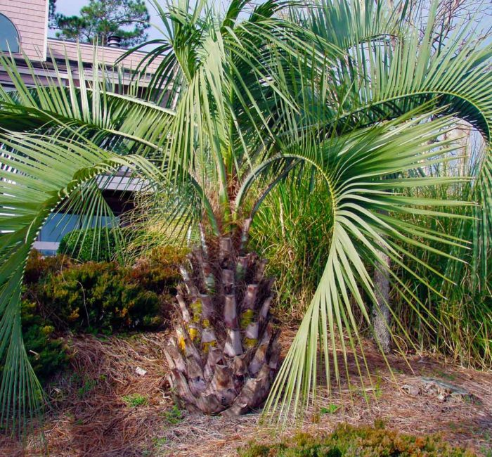 Palm Tree Varieties ⋆ Superior Sod Mulch And Sod In