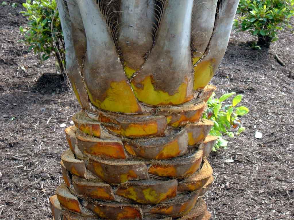 Pindo Straight Cut palm tree