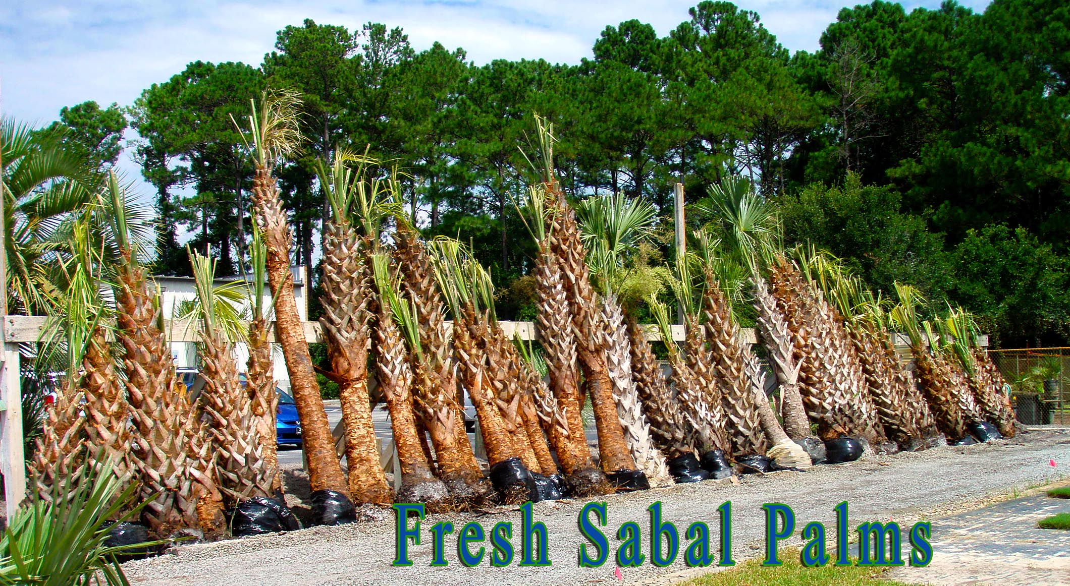 Sable Palms at Superior Sod in Wilmington