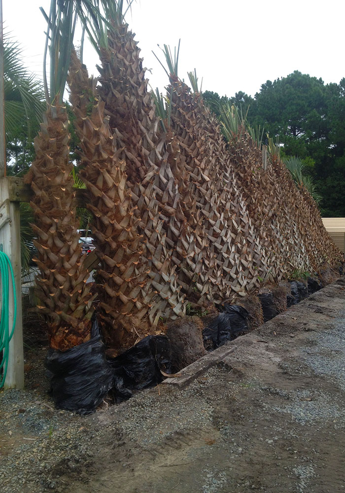 these palm trees will look great in your yard