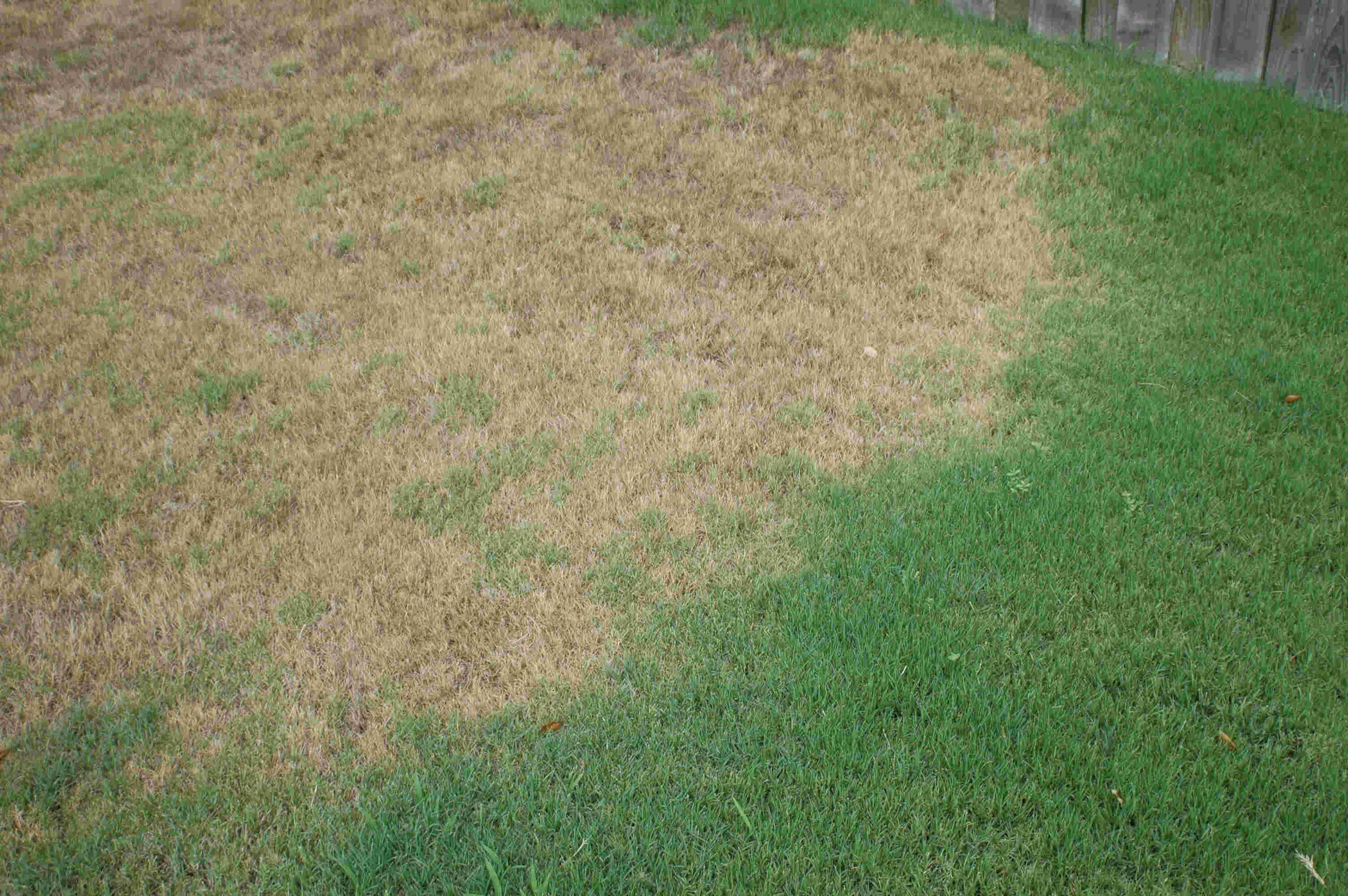 Typical symptoms of chinch bugs. The area affected will often look like grass affected by drought.